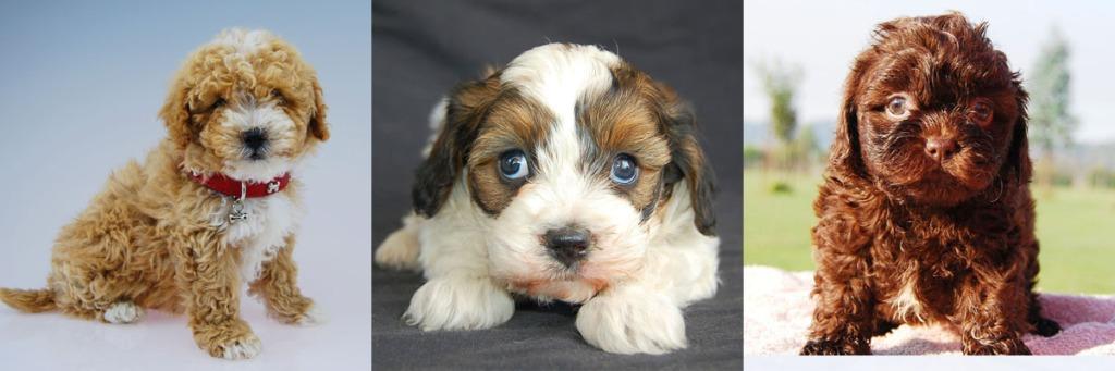3 Cavoodle puppy photos 10