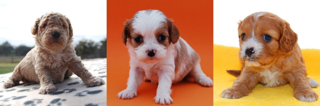 3 Cavoodle puppy photos 1
