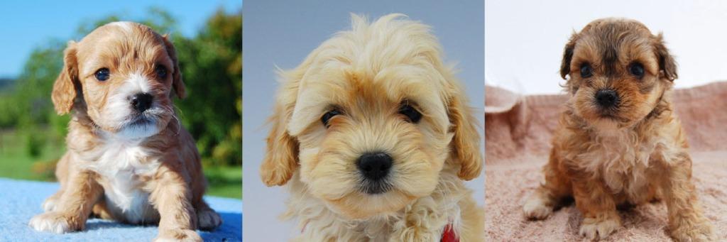 3 Cavoodle puppy photos 11