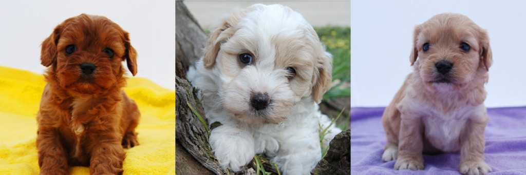 3 Cavoodle puppy photos 2