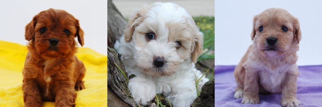 3 Cavoodle puppy photos 2