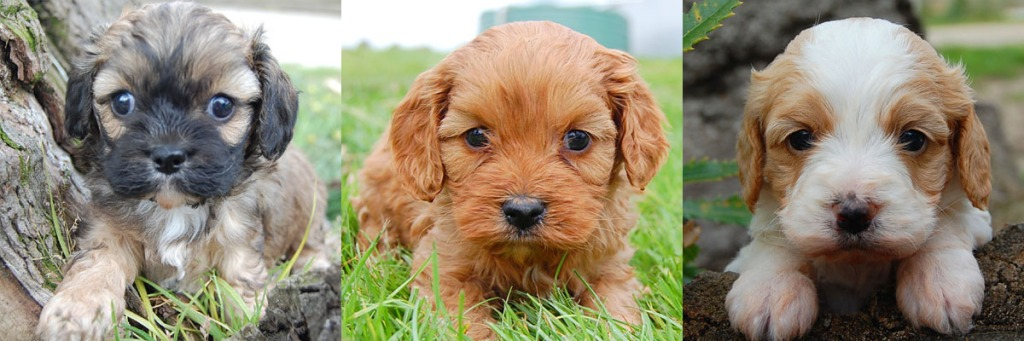 3 Cavoodle puppy photos 3
