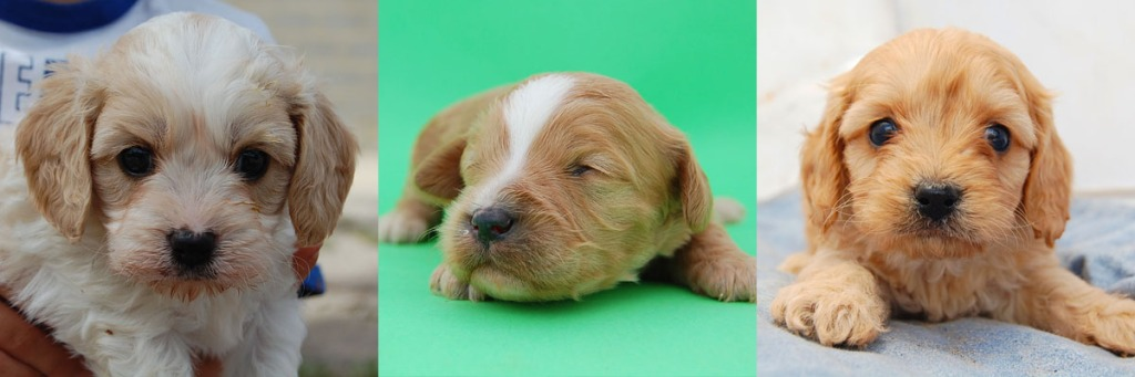 3 Cavoodle puppy photos 4