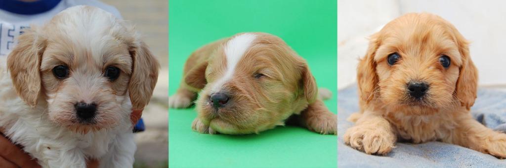 3 Cavoodle puppy photos 4