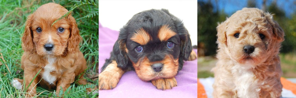 3 Cavoodle puppy photos 5