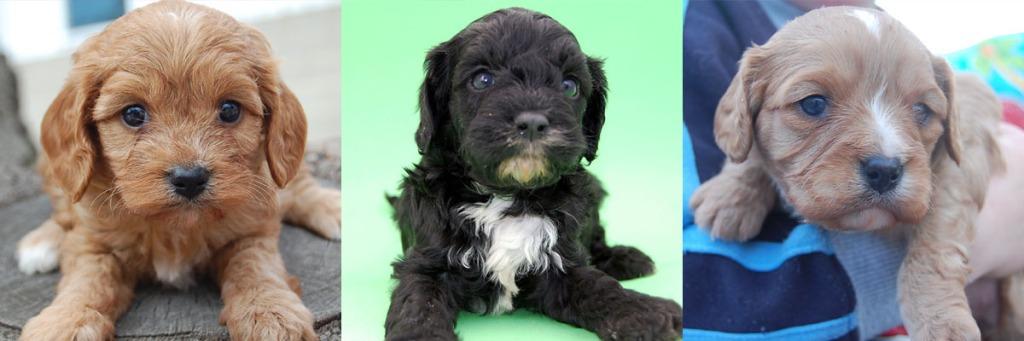 3 Cavoodle puppy photos 6