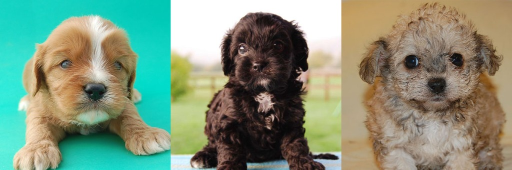 3 Cavoodle puppy photos 7