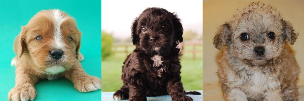 3 Cavoodle puppy photos 7