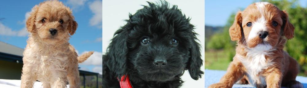 3 Cavoodle puppy photos 8