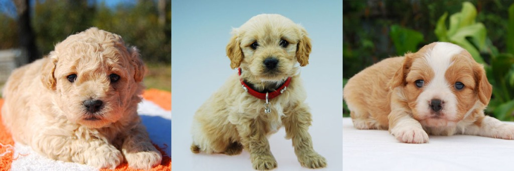 3 Cavoodle puppy photos 9