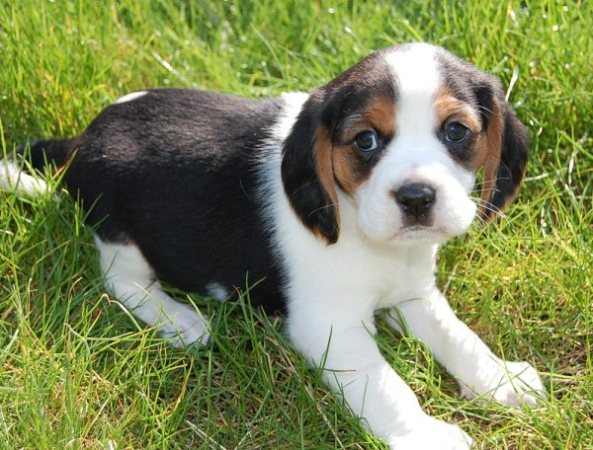 Tricolour Beaglier puppy from Australian Beagalier breeders