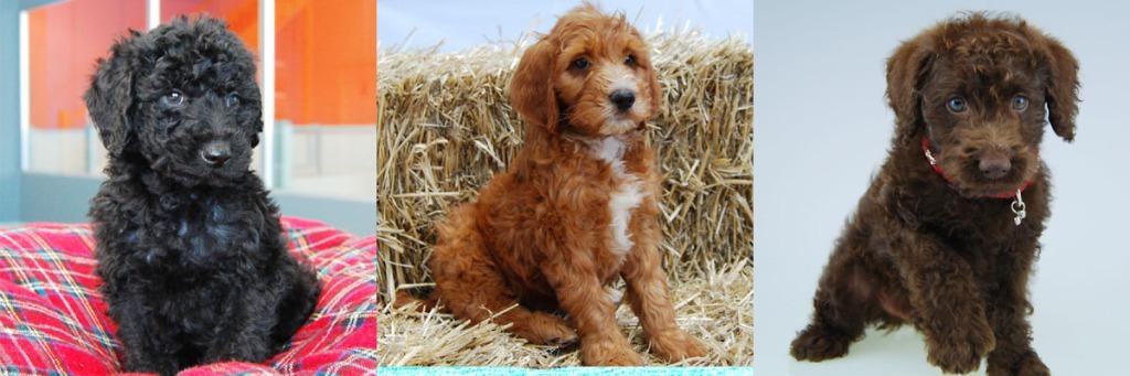 Chocolate Golden Retriever Puppies