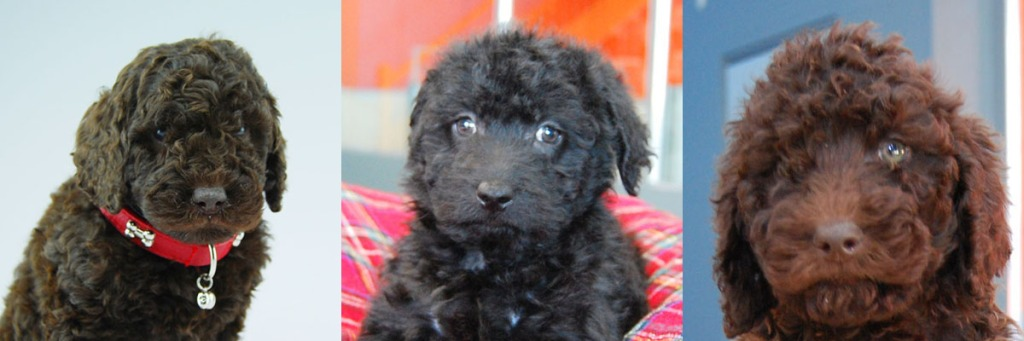 1 black and 2 chocolate Labradoodle puppies