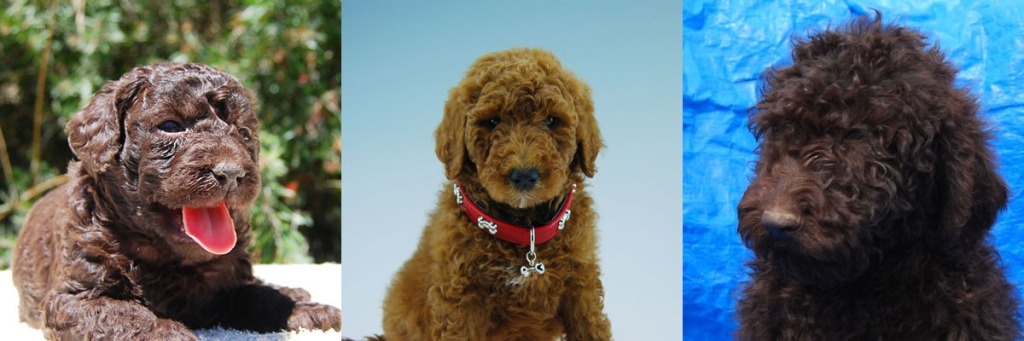 1 red and 2 chocolate Labradoodle puppies