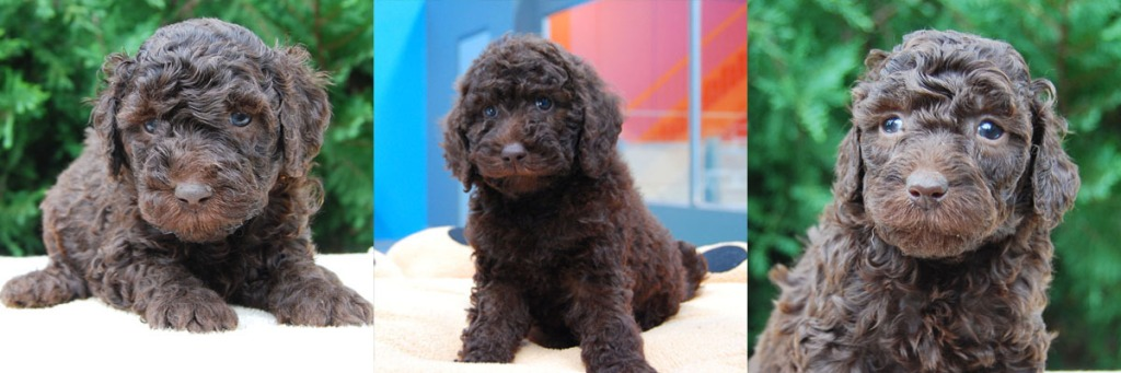 3 chocolate Labradoodle puppies