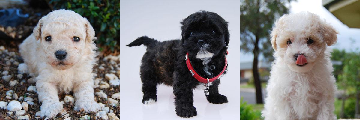 maltese + poodle = moodle