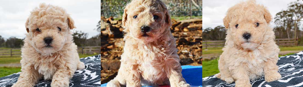 3 Poochon puppy photo
