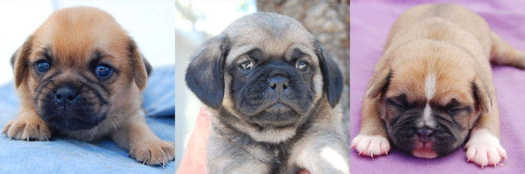 3 fawn Pugalier puppies