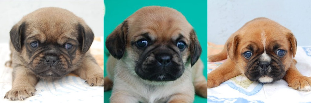 3 Pugalier Puppies