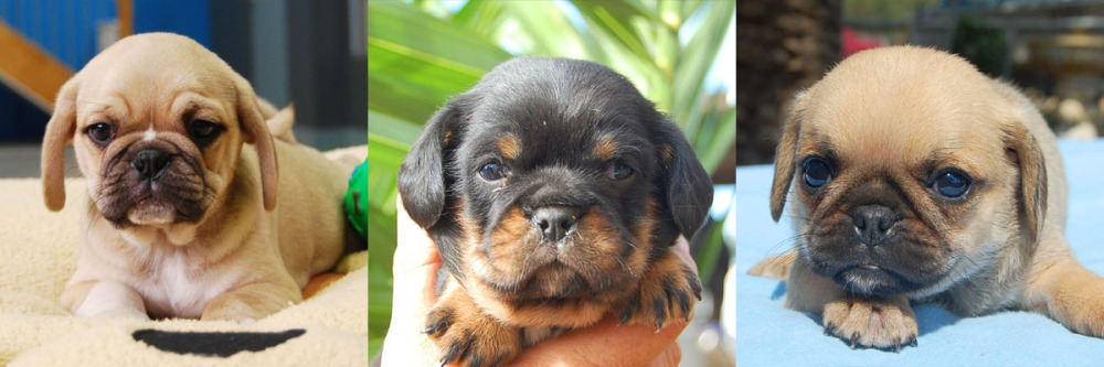 2 fawn and one black and tan Pugalier Puppy