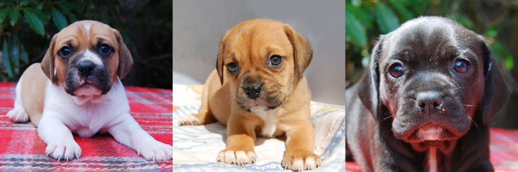 3 Puggle puppies 2