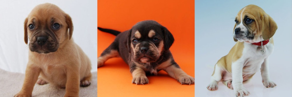 3 Puggle puppies