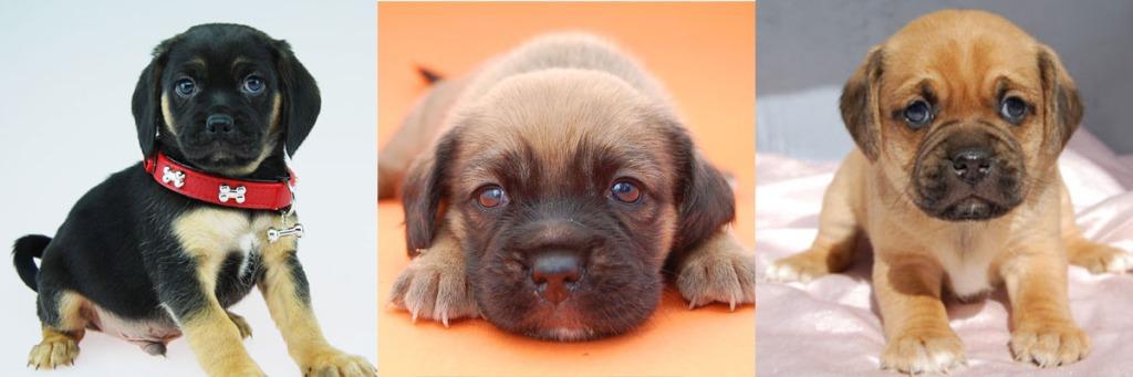 3 Puggle puppies