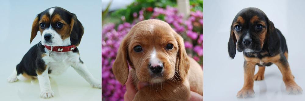 3 Beaglier puppy photos