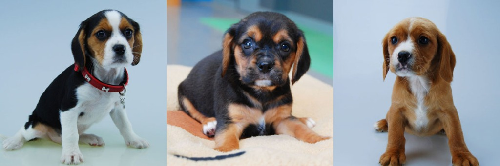 Tricolour black and tan and ruby Beaglier puppies