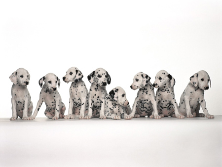 Sitting Dalmation Puppies