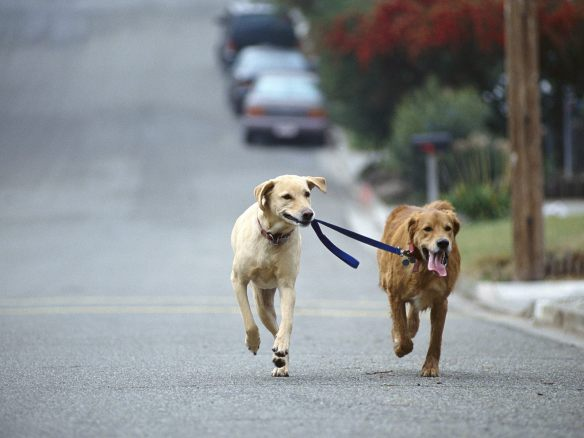 Dogs sharing leash