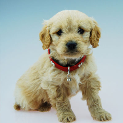Cavoodle puppy with red collar