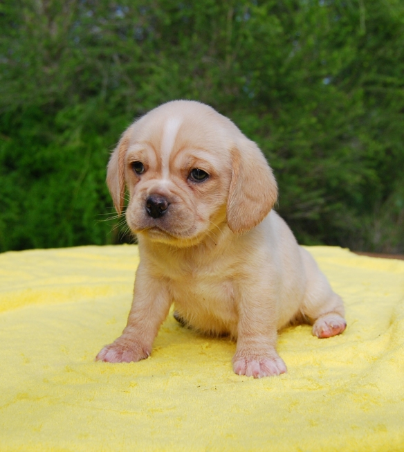 Sitting fawn Puggle Puppy