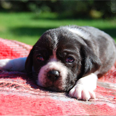 Young black and white Puggle puppy resting