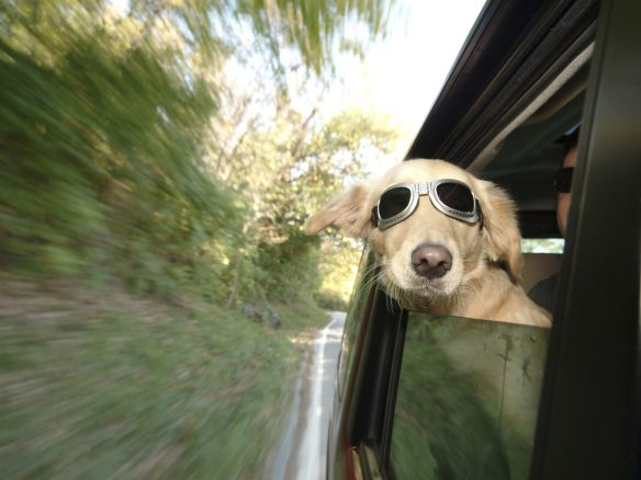 Cool dog enjoying the car ride
