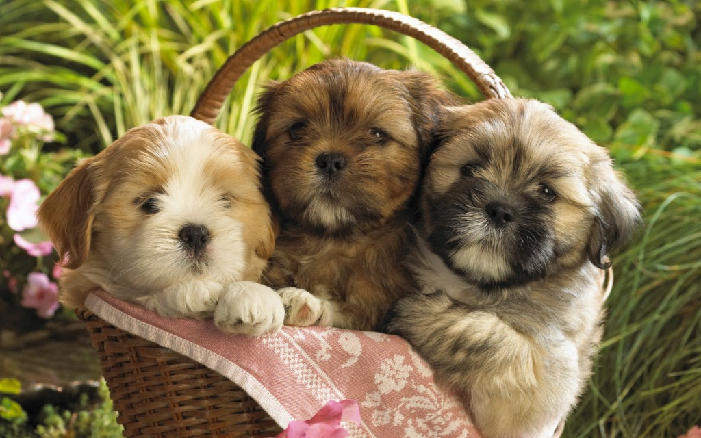 3 cute puppies in a basket