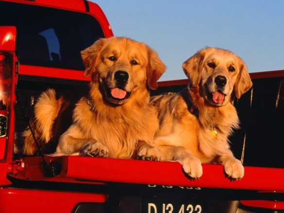 Dogs in the back of the ute