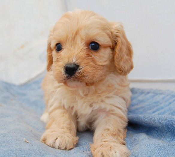 Apricot Cavoodle puppy on blue blanket