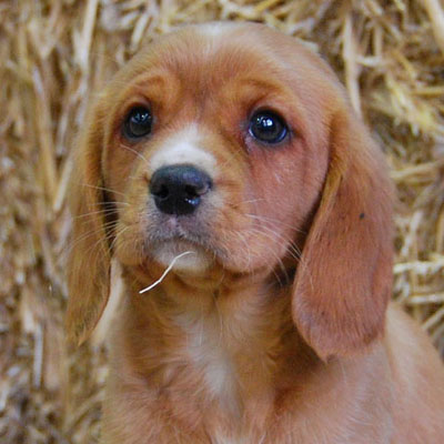 Beaglier puppy on straw