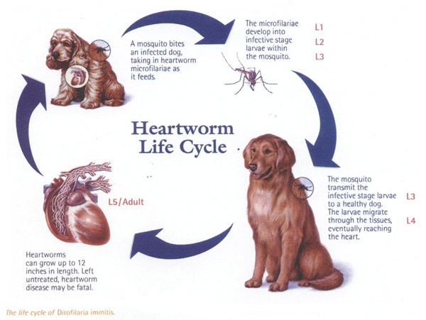 Can My Dog Get Heartworms From Another Dog