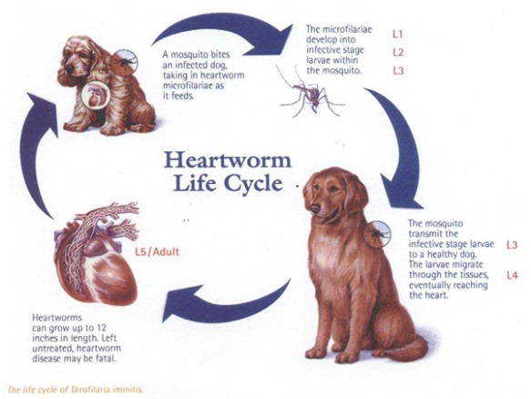 canine heartworm life cycle