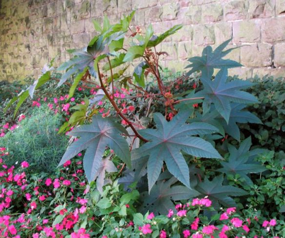 Castor bean plant is toxic to dogs