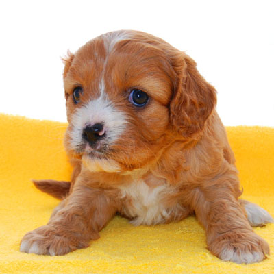 Blenheim Cavoodle puppy on yellow blanket