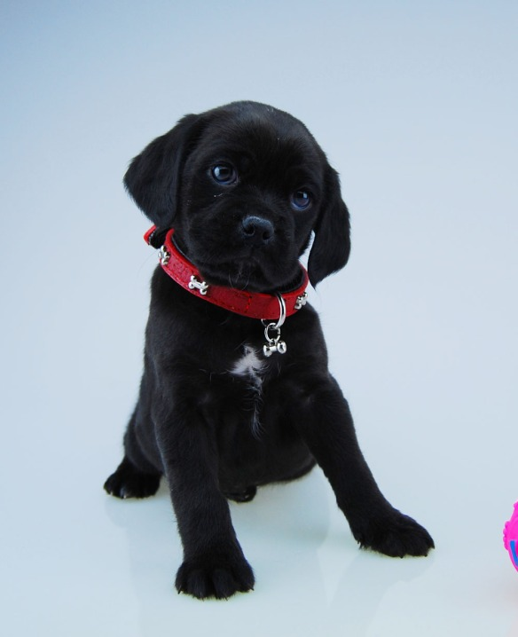 Curious black Puggle puppy