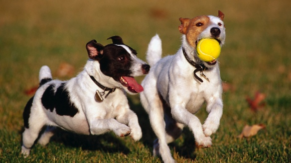 Happy dogs playng with a tennis ball together