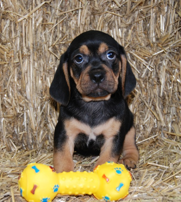 Black and tan Puggle puppy eyes