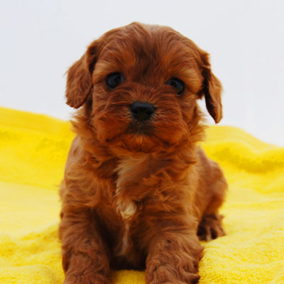 Red Cavoodle puppy with a yellow blanket