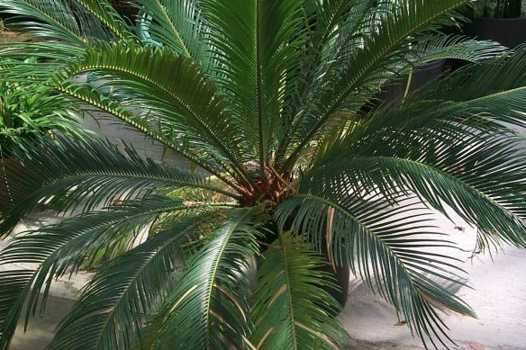 sago or cycad palm toxic to dogs