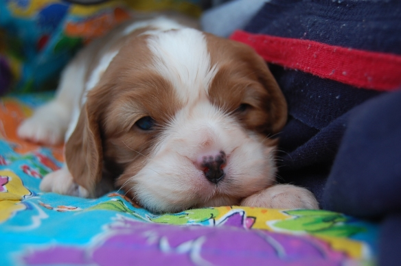 Sleepy Cavoodle puppy