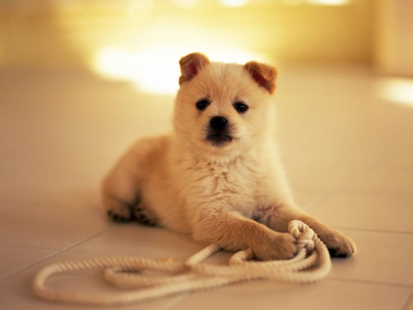 Small puppy playing with a rope
